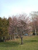 2008.04.21_01さくら.jpg