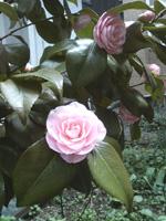 2009.05.10_tsubaki01.jpg